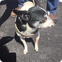 Adopt A Pet :: Sparky - Cashiers, NC