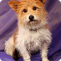 Adopt A Pet :: Patches Terrier Mix - St. Louis, MO