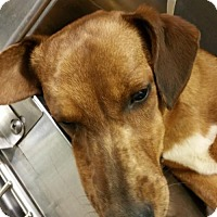 Dachshund/Corgi Mix Dog for adoption in Anderson, South Carolina - WINNER