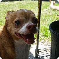 Chihuahua Mix Dog for adoption in S. Pasedena, Florida - Poncho