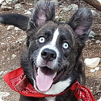 Husky/Cattle Dog Mix Dog for adoption in Lago Vista, Texas - Bolt