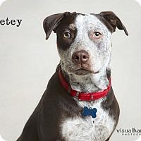Adopt A Pet :: Petey - Chandler, AZ