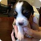 Adopt A Pet :: Baby Blue's Bessie