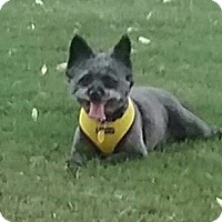 Poodle (Miniature)/Schnauzer (Miniature) Mix Dog for adoption in palm desert, California - MISS LIBERTY (Libbe)
