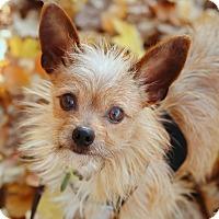 Adopt A Pet :: Vizzini - Portland, OR