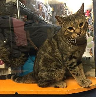 Domestic Shorthair Cat for adoption in New York, New York - Stan