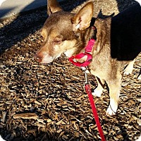 Chihuahua Mix Dog for adoption in Bridgewater, New Jersey - Pogo