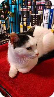 Domestic Shorthair Cat for adoption in Fischer, Texas - Sabrina