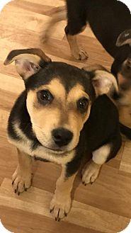 Rottweiler Mix Puppy for adoption in Houston, Texas - Amaretto