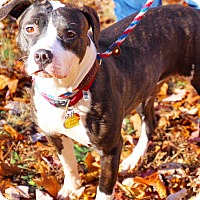 American Staffordshire Terrier/Pit Bull Terrier Mix Dog for adoption in Coopersburg, Pennsylvania - Bree