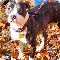 Adopt A Pet :: Bree - Coopersburg, PA