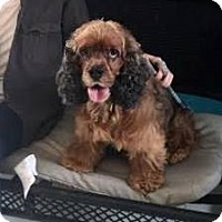 Cocker Spaniel Dog for adoption in Ponca City, Oklahoma - Charlie