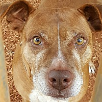 Rhodesian Ridgeback/Labrador Retriever Mix Dog for adoption in Gainesville, Georgia - lady