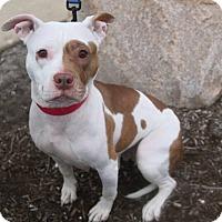 Adopt A Pet :: Cindy Crawford- ADOPTION PENDI - Warrenville, IL