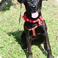 Adopt A Pet :: Nina - San Mateo, CA