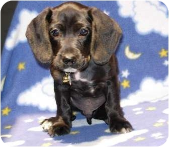 Dachshund Mix Puppy for adoption in Kingwood, Texas - Hot Rod