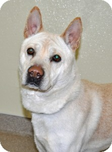 Jindo Dog for adoption in Port Washington, New York - Onyx