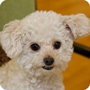 Bichon Frise Mix Dog for adoption in La Costa, California - Charlize