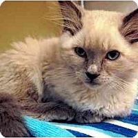 Adopt A Pet :: Mirage - Irvine, CA