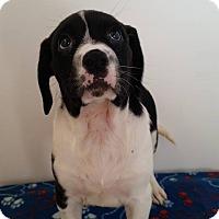 Adopt A Pet :: Yakira - Westminster, CO