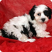 Adopt A Pet :: John John Shih ton - St. Louis, MO