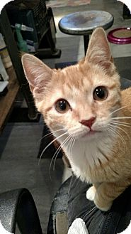 Domestic Shorthair Cat for adoption in Brooklyn, New York - Biscuit