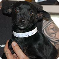 Adopt A Pet :: Dandy - Brooklyn, NY