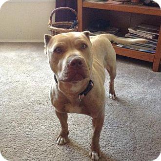 Pit Bull Terrier/Shar Pei Mix Dog for adoption in Chama, New Mexico - Bebe aka Olga