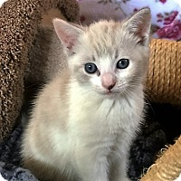 Adopt A Pet :: Kitten Jingles - Seal Beach, CA