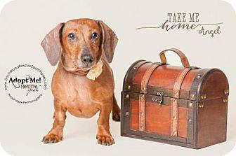 Dachshund Dog for adoption in Weston, Florida - Angel