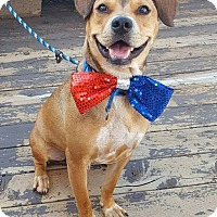 Adopt A Pet :: Copper - St. Charles, MO