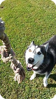 Siberian Husky Mix Dog for adoption in Cavan, Ontario - Hercules