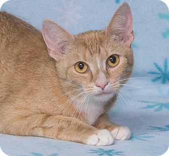 Domestic Shorthair Cat for adoption in Elmwood Park, New Jersey - Abbey