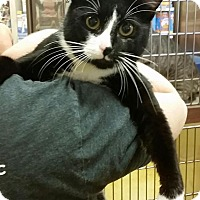 Domestic Shorthair Cat for adoption in North Haven, Connecticut - Ivan