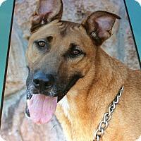 Adopt A Pet :: BROWNIE VON BRICKEL - Los Angeles, CA