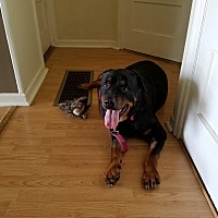 Rottweiler Dog for adoption in Frederick, Pennsylvania - Keyira