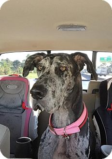 Great Dane Mix Dog for adoption in Jupiter, Florida - Daisy