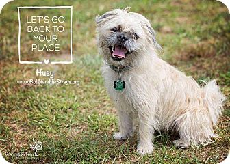 Pug/Maltese Mix Dog for adoption in Freeport, New York - Huey
