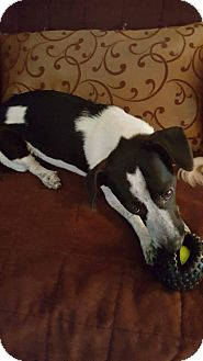 Jack Russell Terrier Mix Dog for adoption in Columbus, Ohio - Luna