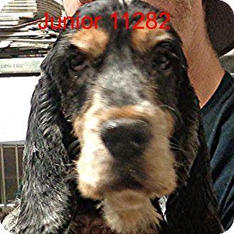 Cocker Spaniel Dog for adoption in Alexandria, Virginia - Junior