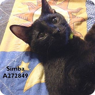 Domestic Mediumhair Cat for adoption in Conroe, Texas - SIMBA