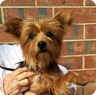 Yorkie, Yorkshire Terrier Mix Dog for adoption in Summerville, South Carolina - Ziggy
