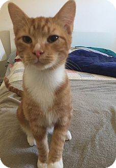 Domestic Shorthair Cat for adoption in Sykesville, Maryland - Pooh
