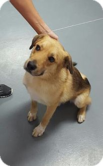 Shepherd (Unknown Type) Mix Dog for adoption in Hawk Point, Missouri - King