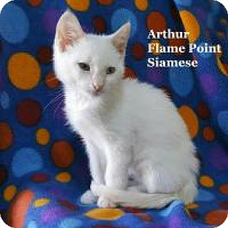 Siamese Cat for adoption in Bentonville, Arkansas - Arthur