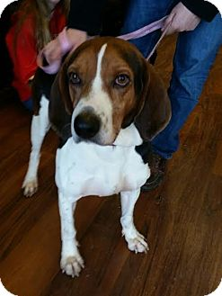 Beagle/Coonhound Mix Dog for adoption in Sparta, New Jersey - Gordy