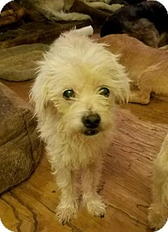 Maltese Mix Dog for adoption in Lithia, Florida - HUNTER -16 Lithia Fl  FOSTET OR ADOPT