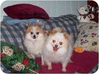 Pomeranian Dog for adoption in Chesapeake, Virginia - Chino and Princess