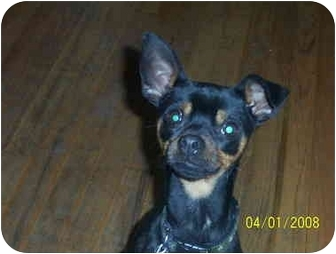 Miniature Pinscher Puppy for adoption in Oak Lawn, Illinois - Luke-URGENT!!