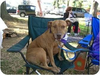 American Pit Bull Terrier/Labrador Retriever Mix Dog for adoption in Sherman Oaks, California - Precious